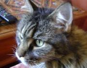 Katzenbetreuung Wien - Betreuungskatzen / Maine Coon