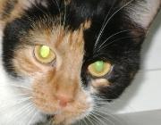 Katzen (Felis silvestris catus) - Ein Halsband mit Glöckchen bringt zur Vorbeugung keinen Nutzen, da die Katze als Lauerjäger ohnehin erst im letzten Moment losspringt und eine Warnung für das Opfer damit bereits zu spät kommt.