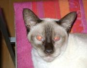 Katzen (Felis silvestris catus) - Entfernen Sie alle giftigen Pflanzen aus Ihrer Wohnung und bieten Sie Ihrer Katze stattdessen Katzengras an.