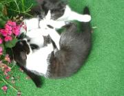 Katzenbetreuung Wien - Junge Katzen / Erst durch das Spiel und den ständigen Kontakt mit den Geschwistern und der Mutter lernen die Kleinen, dass sie Katzen und eigenständige Persönlichkeiten sind.