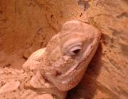 Kleintiere / Zwergbartagame - Die sandfarbenen Tiere haben kurze, kräftige Gliedmaßen, und die Stacheln an Kopf und Bart sind weniger ausgeprägt.