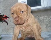 Pitbull Terrier Rednose Welpe