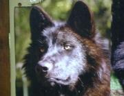 Wolf (Canis lupus) - Timberwölfe (Canis lupus lycaon), Ein Wolf kann erstaunliche Mengen von Fleisch verzehren: an einem Tag zehn bis fünfzehn Kilogramm.