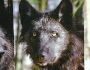 Wolf (Canis lupus) - Timberwölfe (Canis lupus lycaon), Wenn er kein Jagdglück hat, kann der Wolf aber auch mehrere Tage lang ohne jegliche Nahrung auskommen.