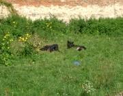 Wolf (Canis lupus) - Timberwölfe (Canis lupus lycaon), Die Rangfolge erkennt man an der Körperhaltung des Wolfes. Die ranghöchsten Tiere sind das Alpha-Männchen und das Alpha-Weibchen.
