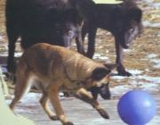 Wolf (Canis lupus) - Timberwölfe (Canis lupus lycaon), Entwöhnt werden die Jungen mit etwa 3 Monaten. Dann beginnen die Jungwölfe auch, ihre Eltern auf Streifzügen oder bei der Jagd zu begleiten.